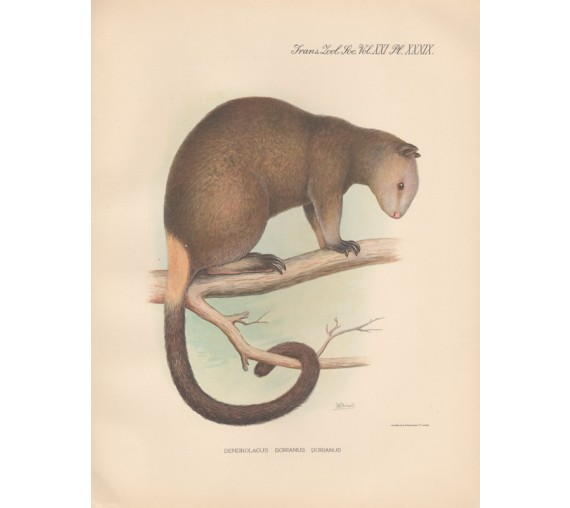 Grizzled Tree Kangaroo lithograph Frederick William Frohawk 1936