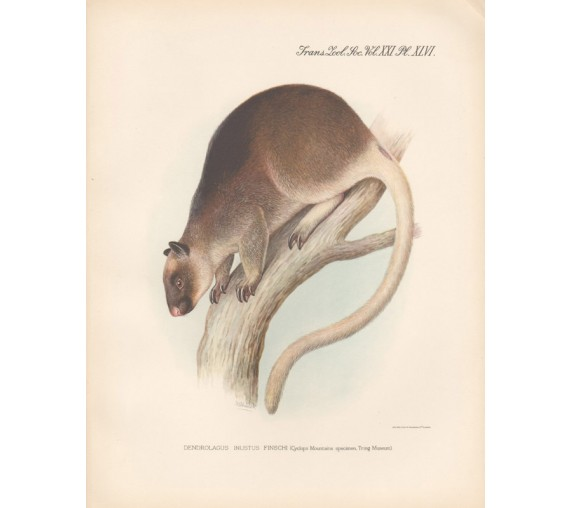 Finschs Tree Kangaroo lithograph Frederick William Frohawk 1936