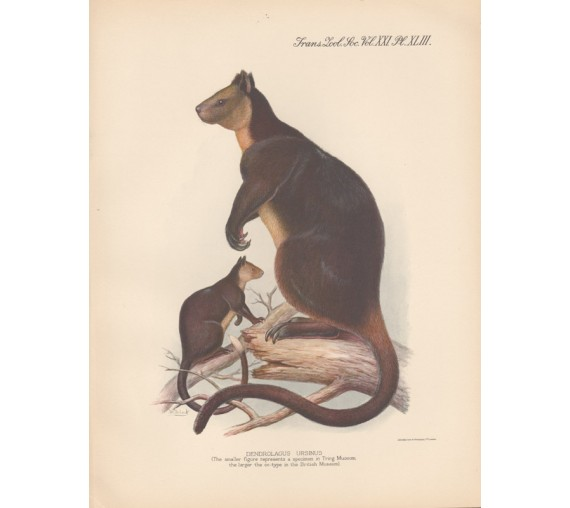 Ursine Tree Kangaroo lithograph Frederick William Frohawk 1936