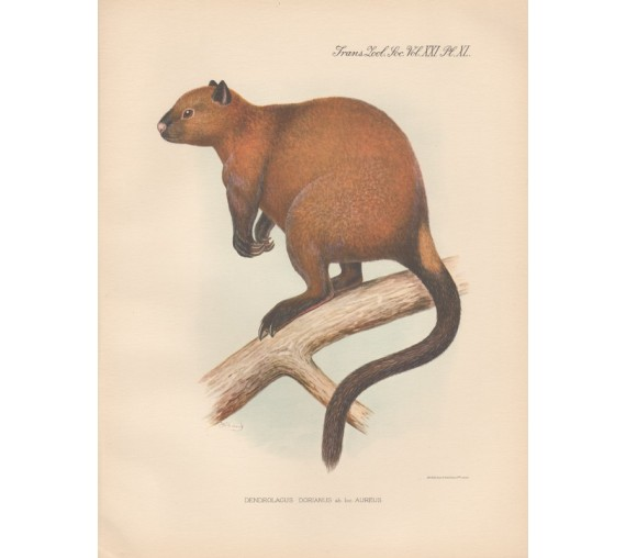 Dorias Tree Kangaroo lithograph Frederick William Frohawk 1936