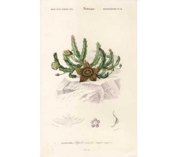 stapelia variegata botanical french engraving antique print