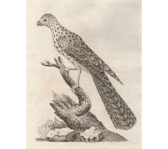 Radiated Falcon engraving John Latham Australian bird
