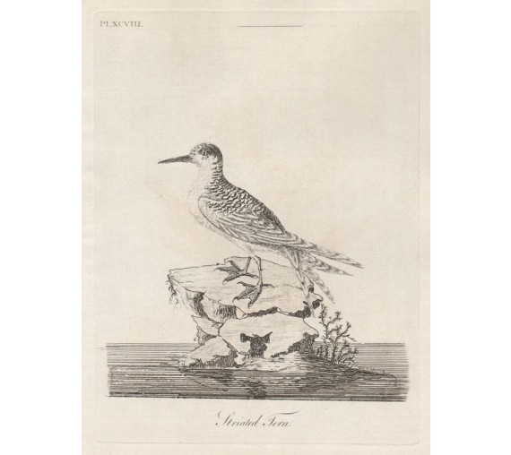 Striated Tern New Zealand engraving John Latham 1802