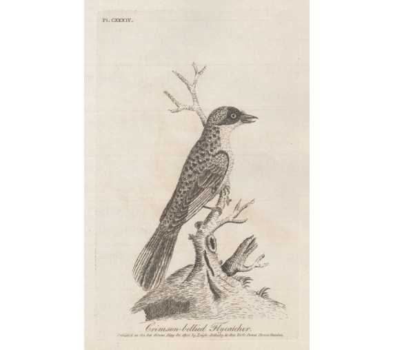 Crimson-bellied Flycatcher engraving John Latham 1801