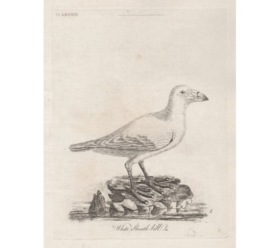 White Sheafbill New Zealand engraving John Latham