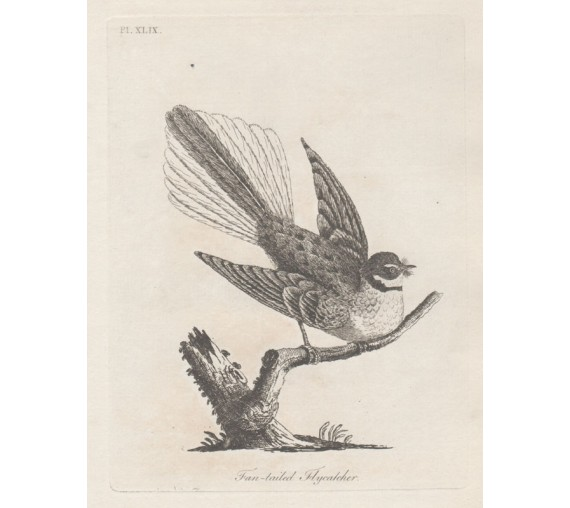 Fantailed Flycatcher New Zealand engraving Latham 1783