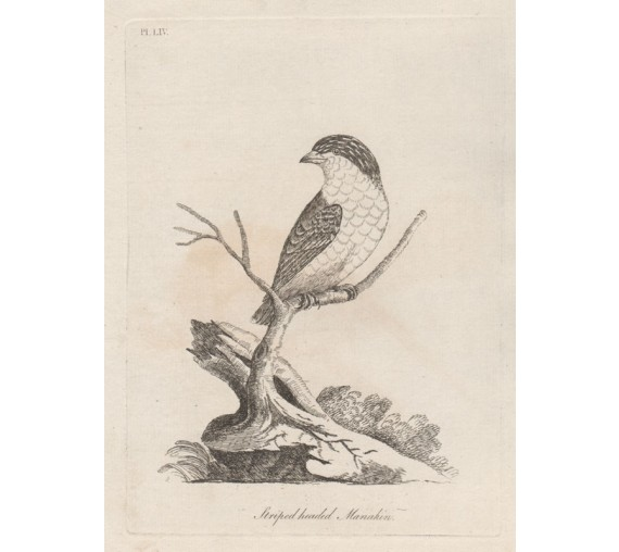 Striped headed Manakin Pardalote engraving John Latham