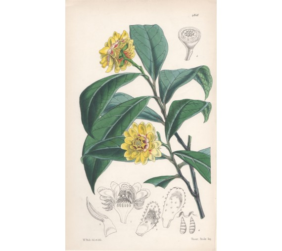 laurel like eupomatia lithograph walter hood fitch