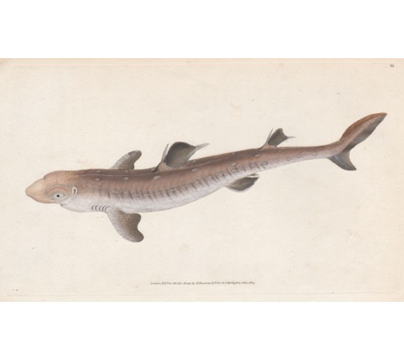 spine backed shark squalus acanthias engraving edward donovan
