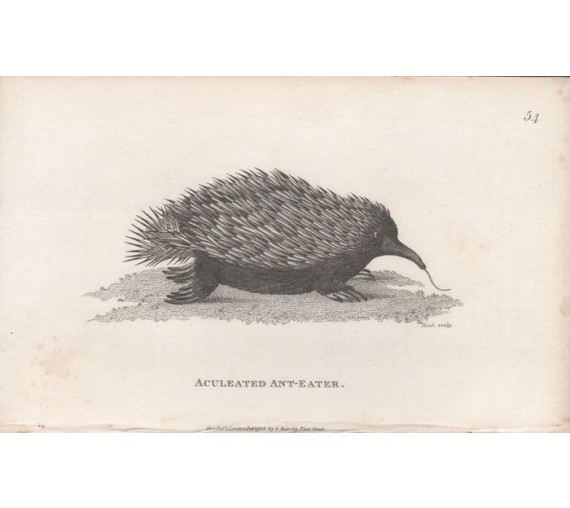 aculeated ant eater engraving heath echidna