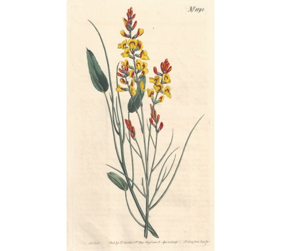 viminaria broom curtis botanical magazine print antique engraving