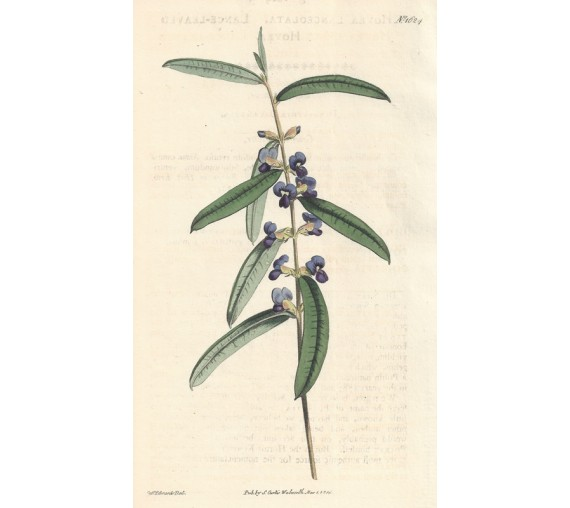 hovea purple curtis botanical magazine print antique engraving