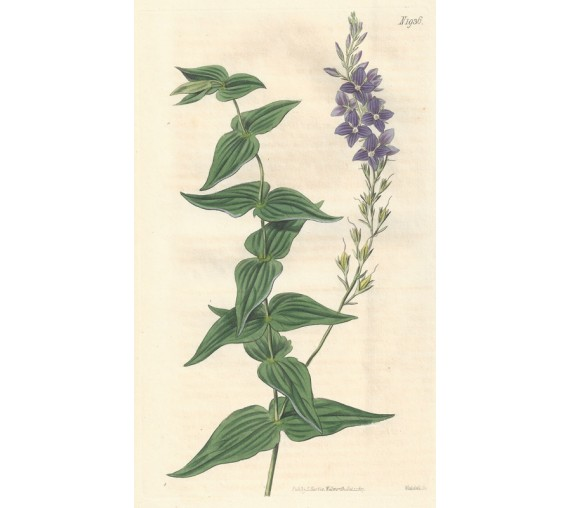 veronica speedwell curtis botanical magazine print antique engraving