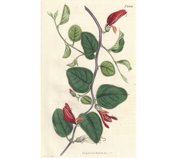 brachysema curtis botanical magazine print antique engraving