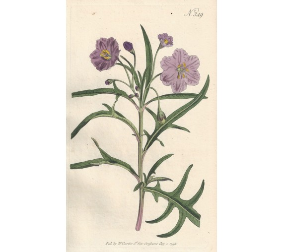solanum curtis botanical magazine print antique engraving