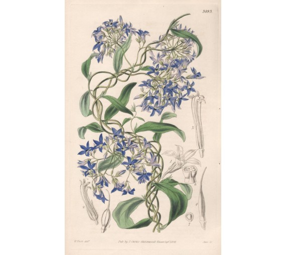 Blue-Spotted Marianthus - Curtis Botanical engraving