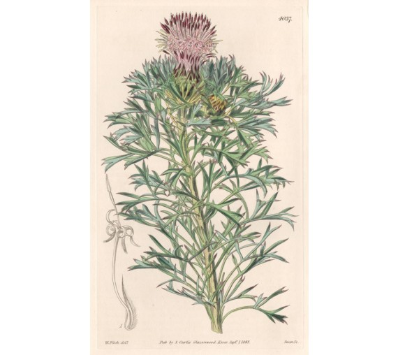 Isopogon Scaber - Curtis Botanical engraving