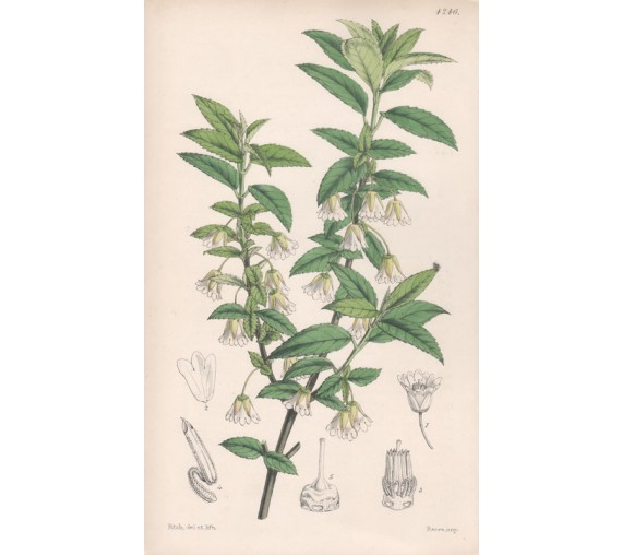 Friesia Peduncularis - Curtis Botanical lithograph