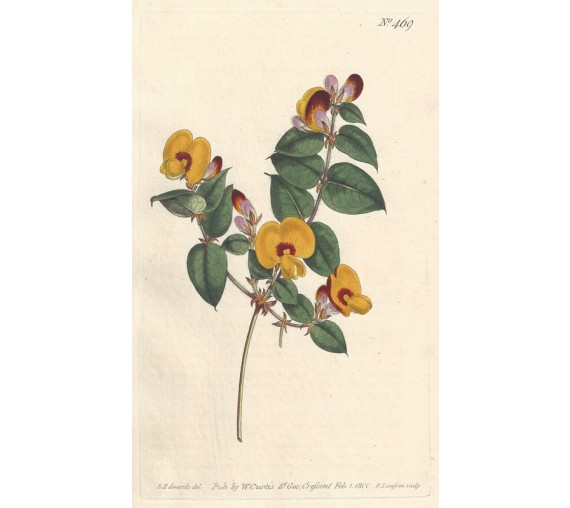 platylobium flatpea yellow curtis botanical antique engraving