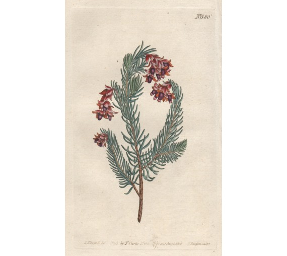 erica heath curtis botanical magazine print antique engraving