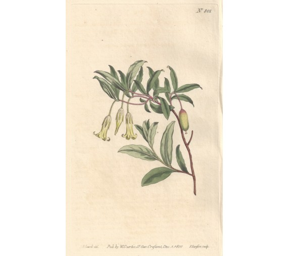 billardiera curtis botanical magazine print antique engraving