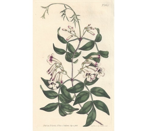 norfolk island trumpet bignonia botanical print antique engraving