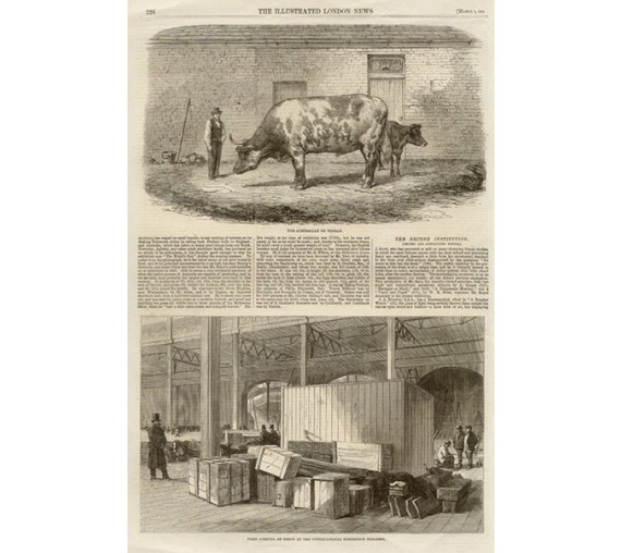Australian Ox Tooran engraving Illustrated London News
