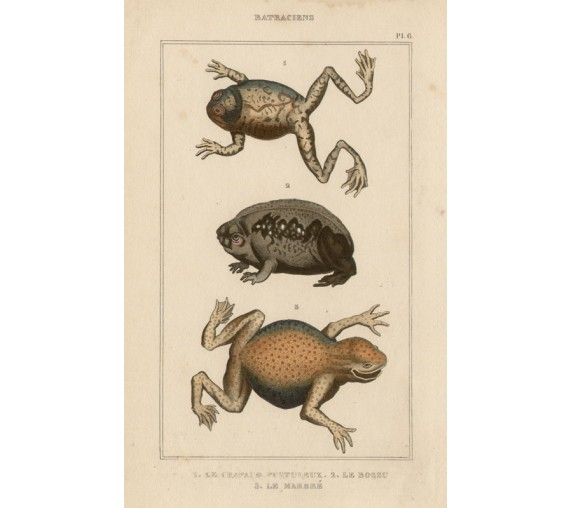 Frogs French antique engraving print