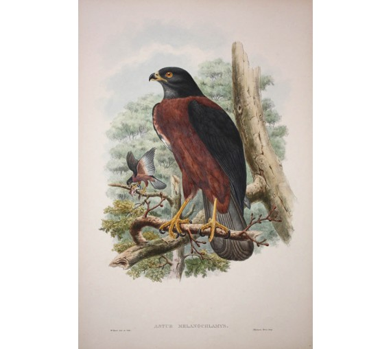 Blackmantled Goshawk Lithograph William Hart Gould