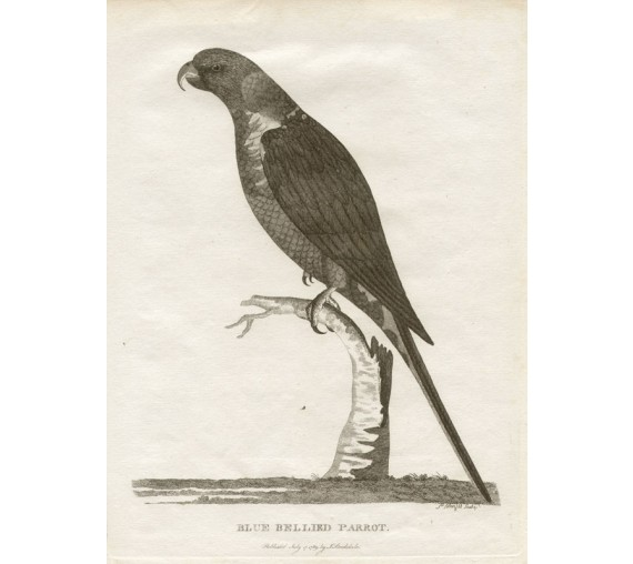 Blue bellied Parrot Rainbow Lorikeet engraving Mazell 1789