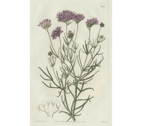 gillia california loddiges botanical print antique engraving
