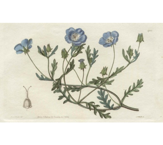nemophila california loddiges botanical print antique engraving