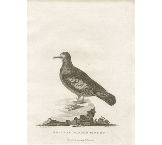 Bronze Winged Pigeon engraving Mazell Latham 1789
