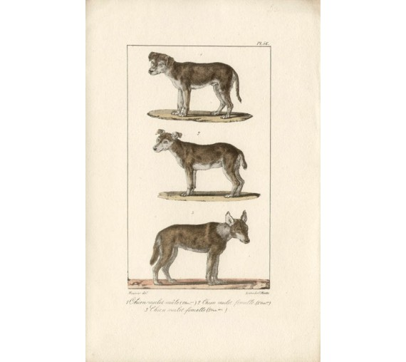 Buffon Dogs French antique Lithograph Motte Meunier