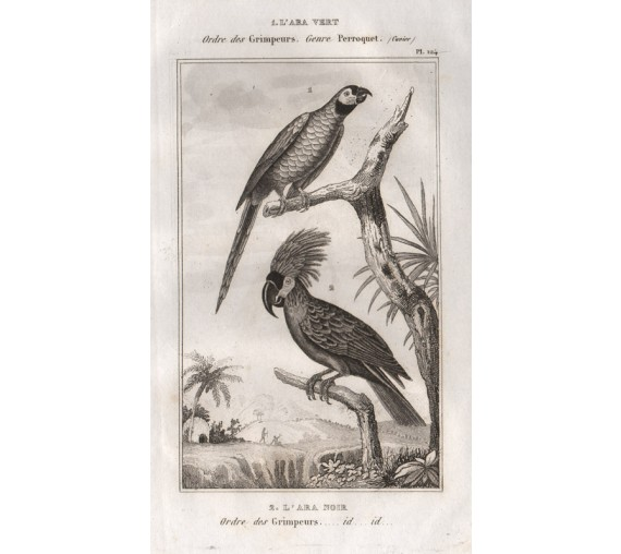 Green parrot Palm Cockatoo engraving