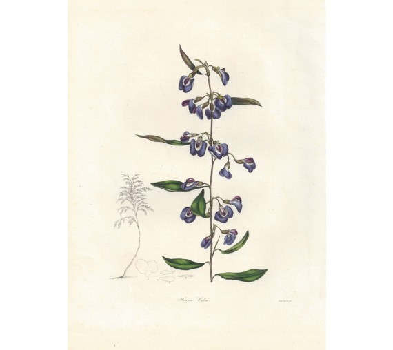 hovea celsi botanical print antique engraving maund botanist