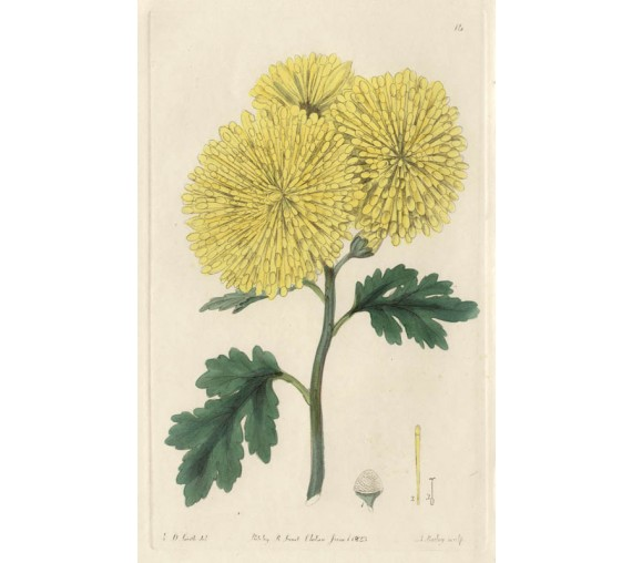 chrysanthemum sinense botanical antique print engraving sweet