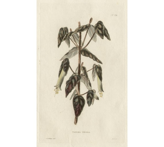 correa virens red loddiges botanical print antique engraving
