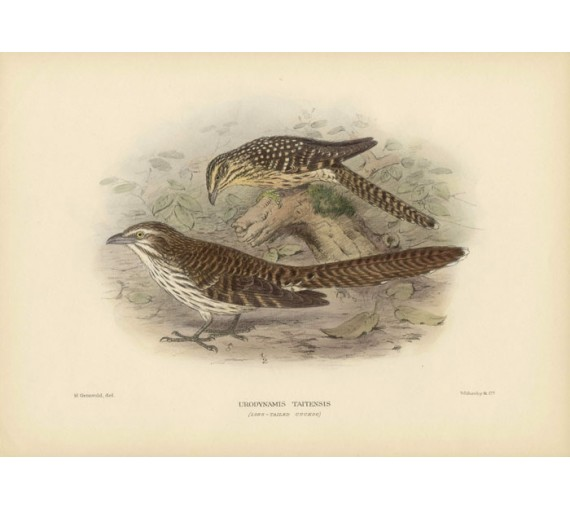 Mathews Birds Long Tailed Cuckoo Lithograph Gronvold