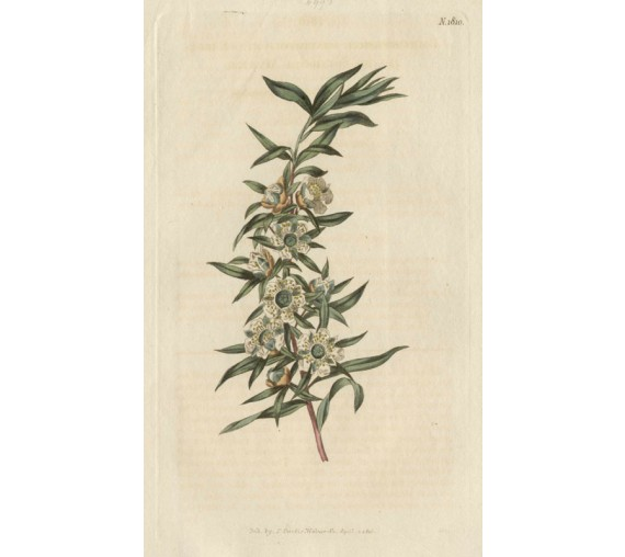 leptospermum myrtle curtis botanical magazine print antique engraving