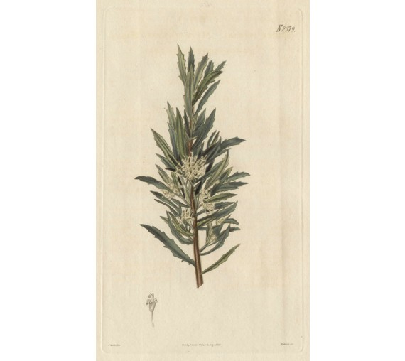 hakea florida curtis botanical magazine print antique engraving