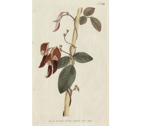 glycine dingy red curtis botanical magazine print antique engraving