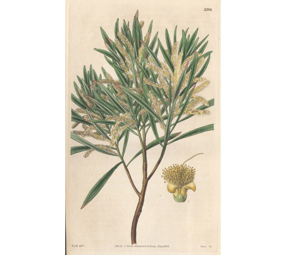 acacia intermediate curtis botanical magazine print antique engraving