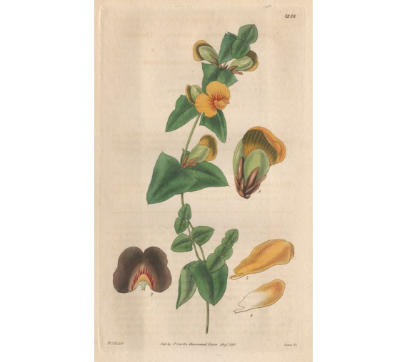 platylobium flatpea curtis botanical print antique engraving
