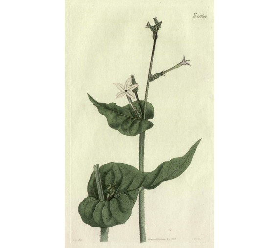 portlandia grandiflora havanna tobacco botanical print antique engraving