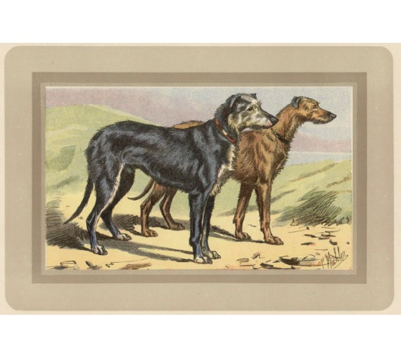 Scottish Deerhound Chromolithograph print gun dog breed