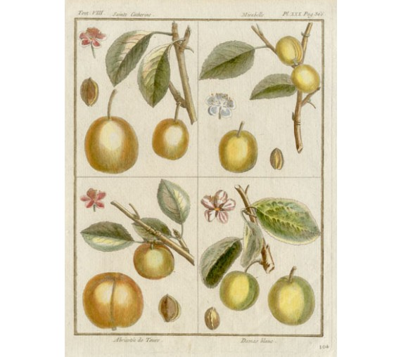 apricot plum dumonceau fruit botanical print antique engraving
