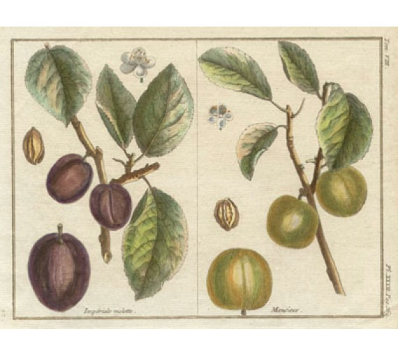 plum dumonceau duhamel fruit botanical print antique engraving