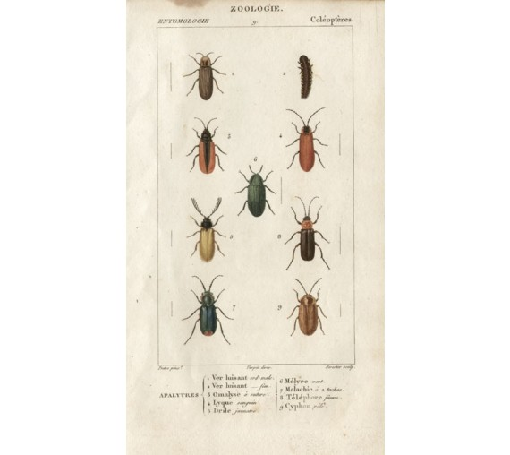 Dumeril Beetles engraving French insect Pretre