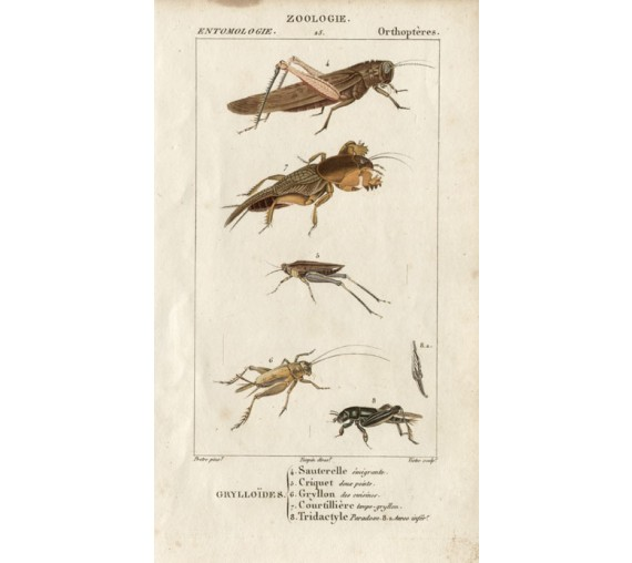 Dumeril Brown Grasshoppers engraving French insect Pretre